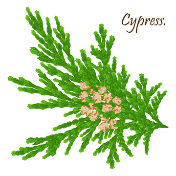 green cypress branch with cones. Cypress twig with growing cones isolated on white background. Cupressus.