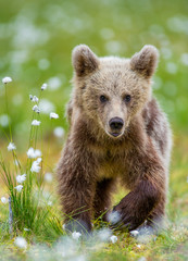 Brown bear in a forest glade surrounded by white flowers. White Nights. Summer. Finland.
