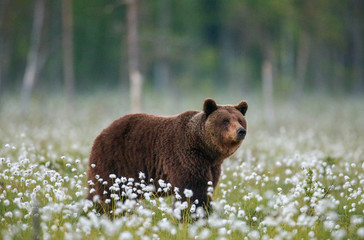 Brown bear stands in a forest clearing with white flowers against a background of forest and fog. Summer. Finland.