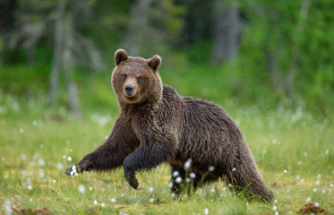 Brown bear is walking through a forest glade. Close-up. Summer. Finland.