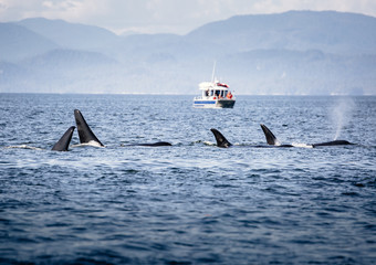 Killer Whales pod in British Columbia, Canada