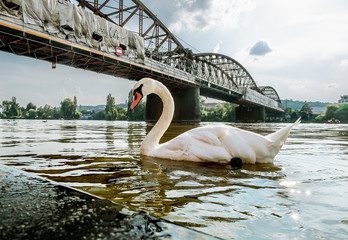 Swans on the Vltava river on the background of the Railway bridge in Prague.