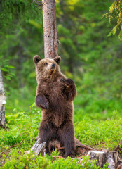 Brown bear stands near a tree in funny poses against the background of the forest. Summer. Finland.