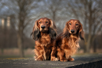 two red dachshund dogs sitting together outdoors