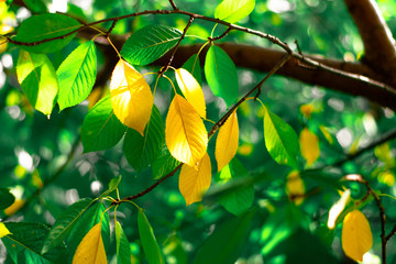 Yellow and green leaves. Cherry tree leaves in autumn