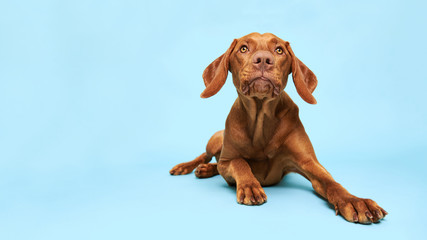 Cute hungarian vizsla puppy studio portrait. Funny dog lying down and looking at the camera with tongue sticking out over blue background.