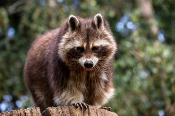 Portrait of adult male common raccoon on the tree trunk
