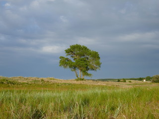 Lonely tree between the dunes.  Way to the beach. Schleswig-Holstein Germany, Europe