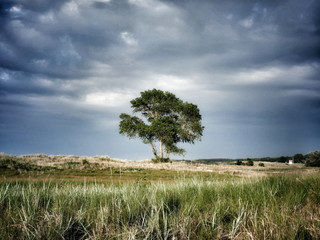 Lonely tree between the dunes.  Before the storm.Way to the beach. Schleswig-Holstein Germany, Europe
