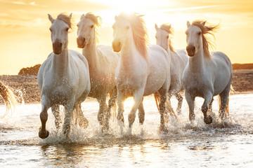 Obraz Białe konie w słońcu, Camargue, Francja - fototapety do salonu