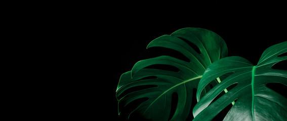 Beautiful monstera leaves (leaf) on black color for decorating composition design background