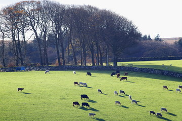 Wall Mural - Herd of cows graze in agricultural field in Dartmoor, Devon