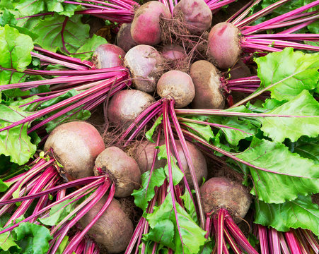 Beet harvest  in field. Beetroots with leaf.