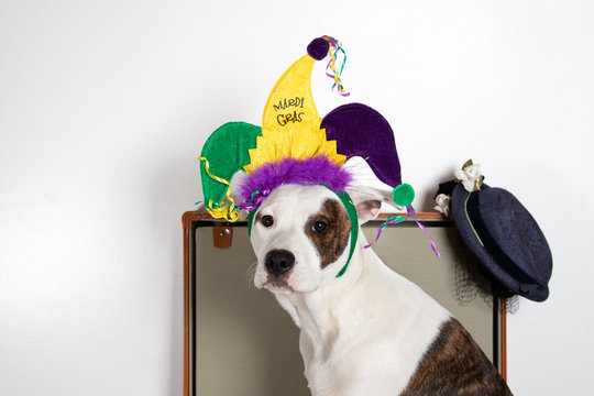 Dog in a Suitcase with a Mardi Gras Party Hat