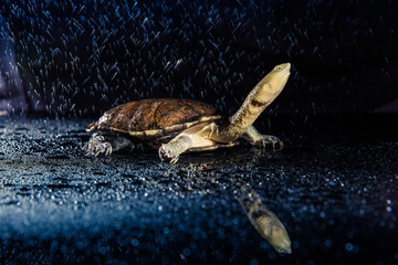 Keuken foto achterwand Schildpad Australian eastern long-necked turtle in heavy rain on black mirror