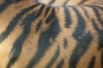Abstract of tiger stripes
