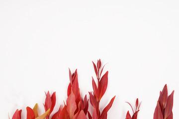 Foto auf Leinwand Blumen Decorative plant Syzygium oleana red leaf white isolated background