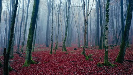Wall Mural - Slow flight inside foggy autumn season tree forest. Magical red coloured leaves in misty woodland.