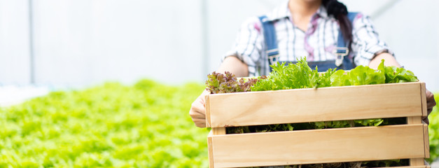 Farmer in greenhouse hydroponic holding basket of vegetable She is harvesting vegetables green...