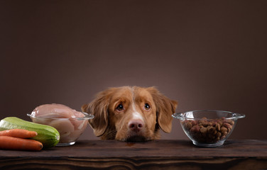 Natural feeding for dogs. Nova Scotia Duck Tolling Retrieverr chooses a meal. Raw food and dry food Wall mural