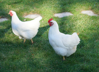 cage free white chicken in the farm