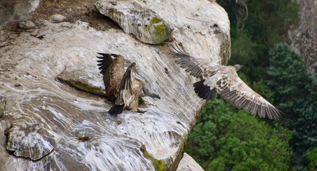 Birds of prey spreading their wings to fly from a rock, African wildlife scene, vulture colony at Drakensbergen, South Africa