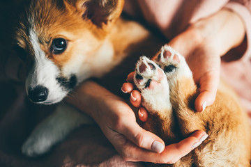 Woman holding little paws of cute puppy Welsh Corgi in hands, Fotobehang