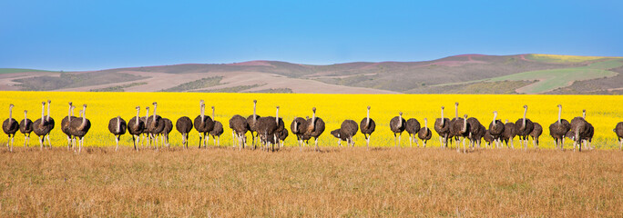 In de dag Afrika Panoramic of ostriches with canola field backdrop, South Africa