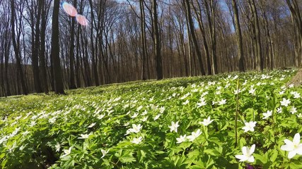 Wall Mural - Field with anemone flowers on vivid grass.