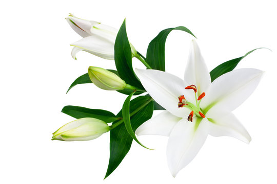 White lily flowers and buds with green leaves on white background isolated close up, lilies bunch, elegant bouquet, lillies floral pattern, romantic holiday greeting card, wedding invitation design