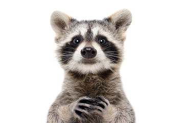 Portrait of a cute funny raccoon, closeup, isolated on a white background Fotobehang