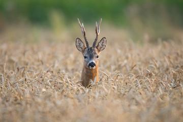 Roebuck - buck (Capreolus capreolus) Roe deer - goat