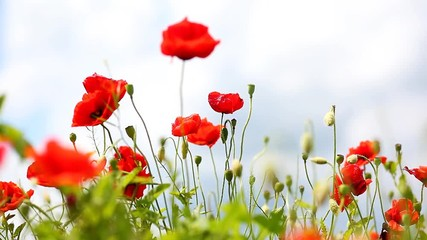 Wall Mural - Close up poppies on field. Wild flowers in springtime.