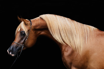 portrait of a horse isolated on black background