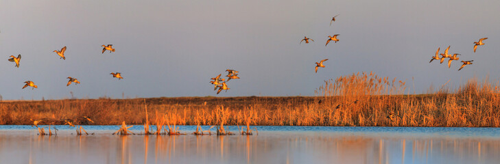 Photo sur Plexiglas Chasse ducks sit on a lake in the morning during migration