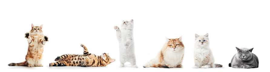 Foto op Plexiglas Kat Collection of purebred cats isolated on white