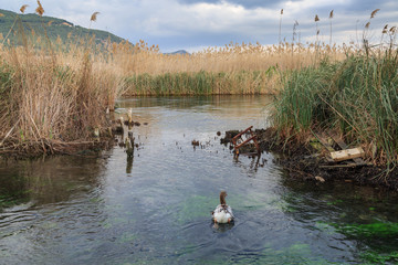 Ducks and geese in azmak river in Gokova, Mugla, Turkey