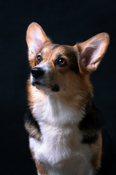 Portrait of red-white with black welsh corgi pembroke dog