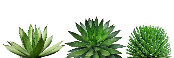 Photo sur cadre textile Cactus Agave Plants Isolated on White Background with Clipping Path