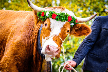 decorated cow for a festive alp returning