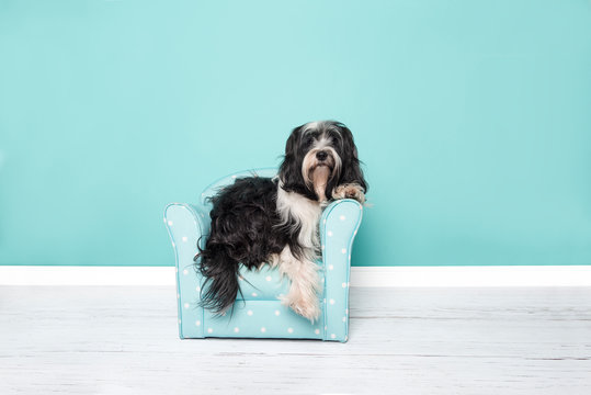 Tibetan terrier lying in a blue chair in a living room setting on a blue background