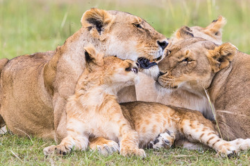 Lion Flock with a playful cub rests on savannah