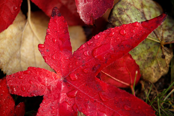 A red leaves lies on the ground during the autumn season, in Vaas