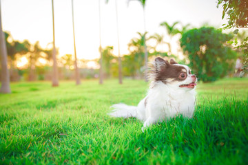Printed kitchen splashbacks Artist KB A chihuahua lying and relaxing on the grass in the garden with sunny spring day. Warm spring colors.