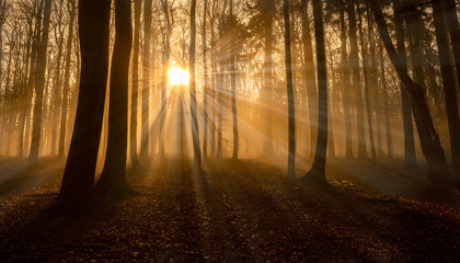 a beautiful sunrise in an old foggy forest Fototapete