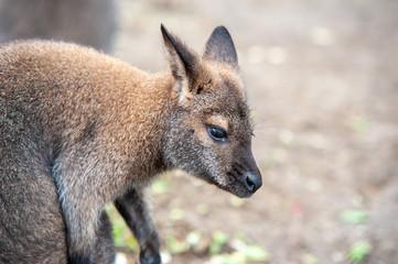 Foto op Aluminium Kangoeroe Känguru