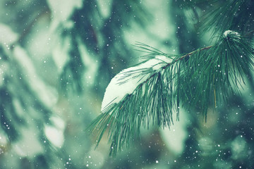 Wall Mural - Winter Season Nature Outdoor Holiday Evergreen Christmas Tree Pine Branches Covered With Snow and Falling Snowflakes Texture