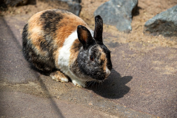 Full body of black-beige-white domestic pygmy rabbit