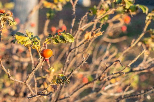 Russia, Kostroma, November 23, 2019: a bright orange rose hip on a shrub with a few of leaves left on a sunny autumn day