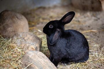 Full body of black domestic pygmy rabbit